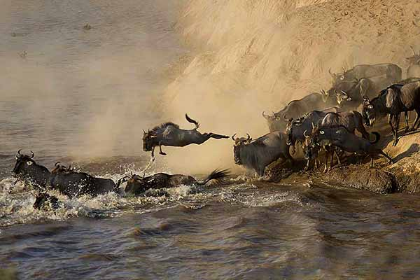 Wildebeest Crossing the Mara River in Kenya - ©Roger Devore