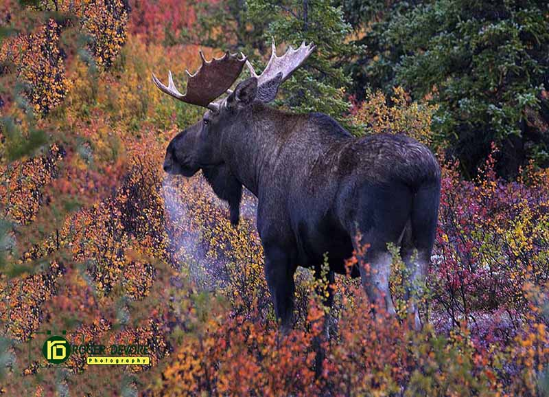 Bull Moose from Denali NP, AK - ©Roger Devore