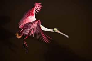 Everglades National Park - Roseate Spoonbill.