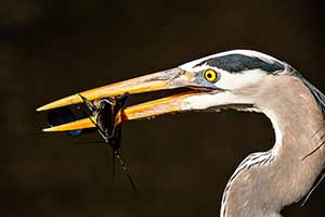 Everglades National Park - Great Blue Heron with catfish.